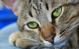 Detalhes de nariz dos gatos Imagens de Stock