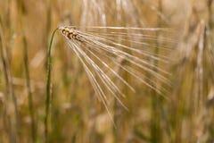 Detalhes de orelha dos cereais Fotos de Stock