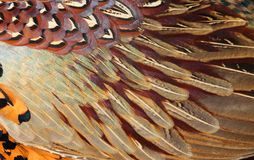 Detalhes de plumagem comum do faisão (colchicus do Phasianus) Imagens de Stock