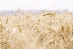 Detalhes de trigo Imagens de Stock