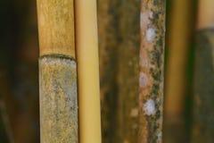 Detalhes de troncos de bambu amarelos da paralela imagens de stock