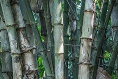 Detalhes de troncos de bambu verdes fotografia de stock royalty free