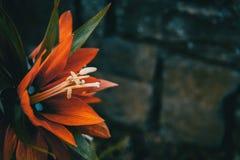 Detalhes de uma flor vermelha de imperialis do fritillaria fotografia de stock
