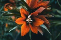 Detalhes de uma flor vermelha de imperialis do fritillaria foto de stock royalty free