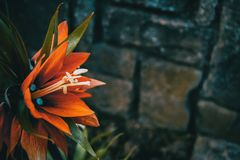 Detalhes de uma flor vermelha de imperialis do fritillaria fotos de stock royalty free