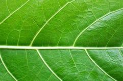 Detalhes de uma folha verde Fotos de Stock Royalty Free