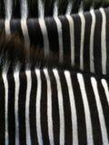 Detalhes de zebra Imagens de Stock Royalty Free
