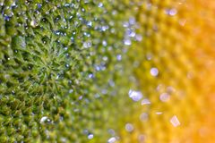 detalhes do girassol Foto de Stock