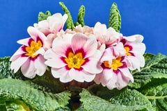 Detalhes do ramalhete da flor da prímula Fotos de Stock Royalty Free