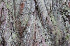 Detalhes do tronco da sequoia vermelha foto de stock