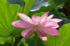 Detalhes macro de flores de Lotus do rosa japonês no jardim imagem de stock royalty free
