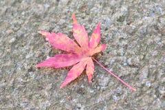Detalhes macro de folha colorida vívida caída de Autumn Maple do japonês Fotos de Stock