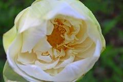 Detalhes macro do close-up de flor branca aquática bonita do nucifera de LotusNelumbo imagens de stock