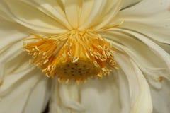 Detalhes macro do close-up de flor branca aquática bonita do nucifera de LotusNelumbo foto de stock royalty free
