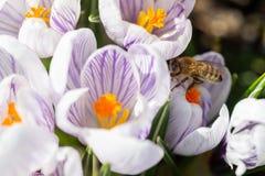 Detalhes novos novos do macro das cabeças de flor do açafrão da violeta branca Imagens de Stock