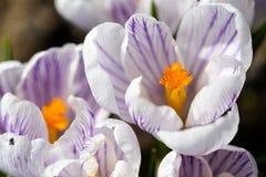Detalhes novos novos do macro das cabeças de flor do açafrão da violeta branca Imagem de Stock Royalty Free