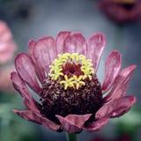 Detalhes roxos da flor do Zinnia Imagem de Stock