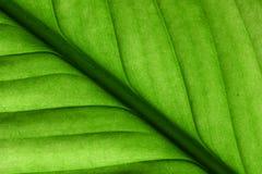 Detalhes verdes da folha Foto de Stock