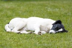 Detalj av att sova den svartvita hunden på grönt gräs Arkivfoto