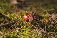 Detalj av att spy russulaen som växer i skogen royaltyfri foto