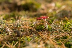 Detalj av att spy russulaen som växer i skogen arkivfoto