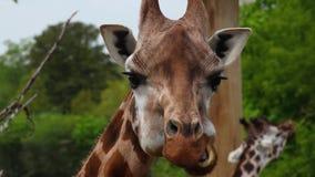 Detalj av att tugga giraffet arkivfilmer