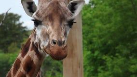Detalj av att tugga giraffet stock video
