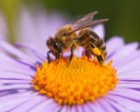 Detalj av biet eller europeisk eller västra honungbiet det honungsbi som, sitter på den gula violetta eller blåa blomman arkivfoto