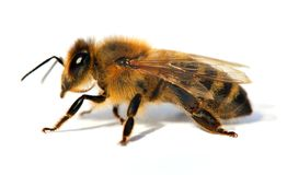 Detalj av biet eller honungsbit, Apis Mellifera royaltyfria foton