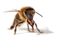 Detalj av biet eller honungsbit, Apis Mellifera royaltyfri foto