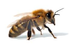 Detalj av biet eller honungsbit, Apis Mellifera fotografering för bildbyråer