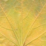 Detalj av bladet för Virginia ranka Arkivfoton