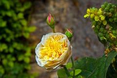 Detalj av blommande rosor Arkivfoton