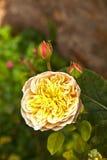 Detalj av blommande rosor Arkivbild