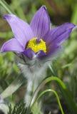 Detalj av blomningpasqueblomman (pulsatillaen) Arkivfoto
