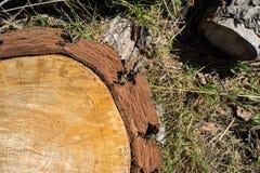 Detalj av cirklarna av en snittträdstam Royaltyfria Foton