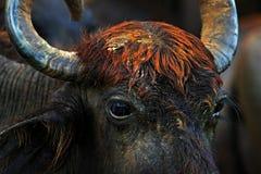 Detalj av den asiatiska vattenbuffeln, Bubalusbubalis, i det bruna vattendammet Djurlivplats, sommardag med floden Stort djur i n Arkivbilder