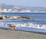 detalj av den bruna hunden som spelar på stranden Arkivfoto