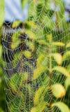 Detalj av den daggiga spindelnätet med pärlor från regndroppar Fotografering för Bildbyråer