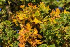 Detalj av den färgrika eken för trevlig höst, höstbakgrund royaltyfri foto