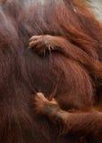 Detalj av den främre handorangutanget Närbild Indonesien Ön av Kalimantan Borneo royaltyfria foton