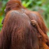 Detalj av den främre handorangutanget Närbild Indonesien Ön av Kalimantan Borneo royaltyfri foto