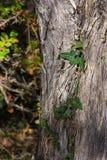 Detalj av den gröna murgrönan på ett träd Royaltyfri Fotografi