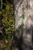 Detalj av den gröna murgrönan på ett träd Arkivfoton