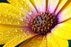 Detalj av den gula dimorphothecaen spp för udderingblomma Blomma sunf Arkivfoton