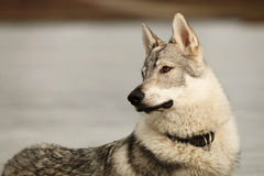 Detalj av den gulliga unga wofdogmannen på frostfloden Royaltyfria Foton