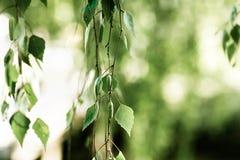 Detalj av den hängande björkfilialen med gröna sidor arkivbild