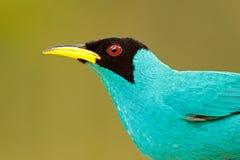 Detalj av den härliga fågeln Den gröna Honeycreeper, Chlorophanes spizaen, exotisk vändkretsmalakitgräsplan och blåttfågeln bilda royaltyfri fotografi
