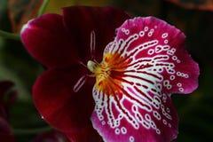 Detalj av den hybrid- orkidéblomman med dekorativt violett till den vita modellen på kantkronbladet arkivbild