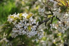 Detalj av den körsbärsröda blomningen Arkivbild